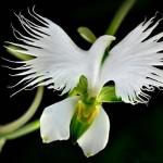 """Орхидея """"Большая белая цапля"""" (Habenaria Radiata)"""